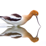 Avocet kiss