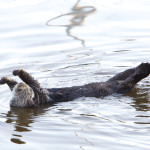 Sea Otter Stretch