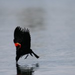 "Red-winged Blackbird  ""On the Fly"""
